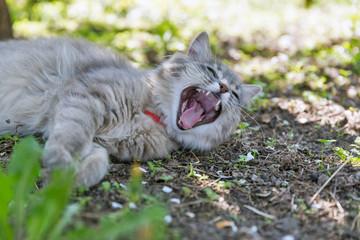 Gray street cat yawning closeup at spring