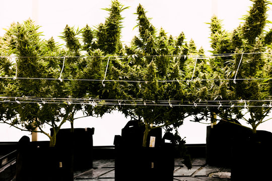cannabis growing inside of a grown house
