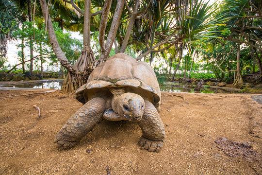 Giant Seychelles turtles in La Vanille natural park, Mauritius