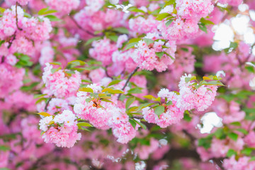 Close-up of beautiful pink flowers and green leaves on Japanese