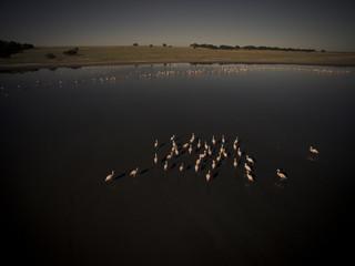 Flamingos flock in a lagoon habitat, Patagonia, Argentina