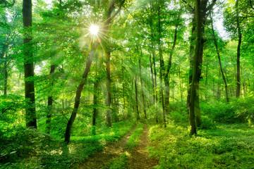 Wanderweg durch grünen Wald im Frühling, Sonne strahlt durchs frische Laub