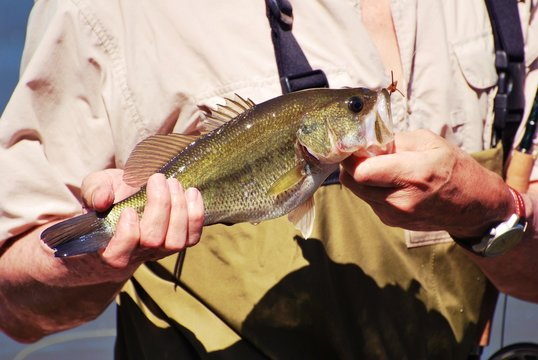 Small Mouth Bass display with two hands out of the water.  Fisherman wearing chest high waders