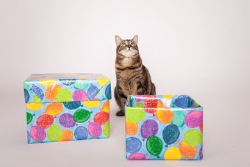 Kitty Cat looking up sitting by boxes wrapped in happy birthday ballon wrapping paper on solid background