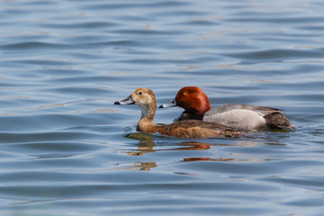 Redhead ducks couple swimming in blue water