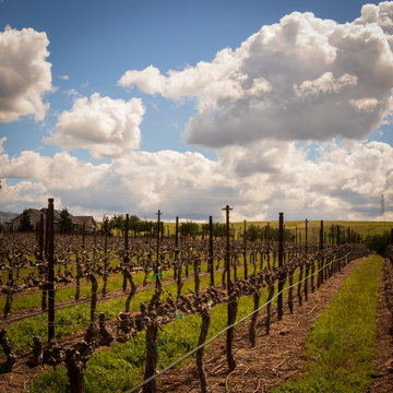 Rows of Vines at a California Vineyard near Livermore. Sun breaking through the clouds.