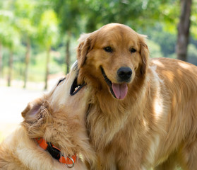Golden Retrievers brincando