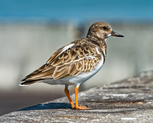 Ruddy Turnstone stopped on the pier