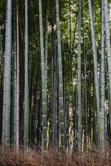 Bamboo grove in Arashiyama, Kyoto Japan