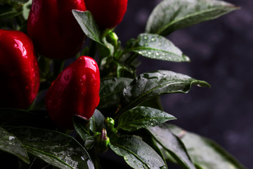Hot red pepper on a bush with dew drops, natural background, macro shot, place for text, selective focus