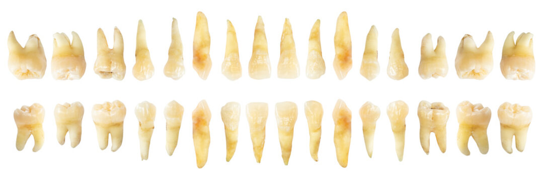 Tooth diagram ( photography ). Real teeth chart . front horizontal view . isolated white background