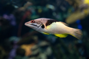 Split-level hogfish, Bodianus mesothorax, coral fish, detail,close up
