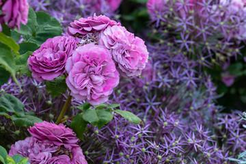 Rose Magenta und Allium
