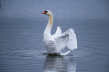 Poster Cygne Rising Swan