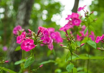 pink fuchsia flower phlox on  bokeh background