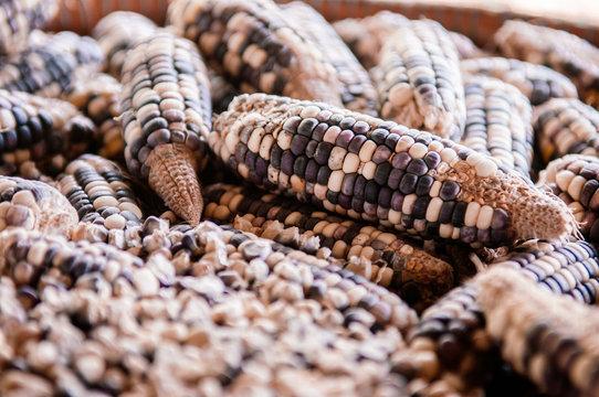 Dried bi colour corns close up details