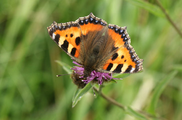 A pretty Small Tortoiseshell butterfly (Aglais urticae) nectaring on a wildflower.