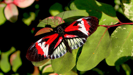 Red Black White Butterfly perched on a leaf