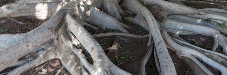 Big tree roots branches off from a tree trunk above the ground