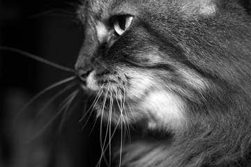 sly look of domestic cat black and white photo