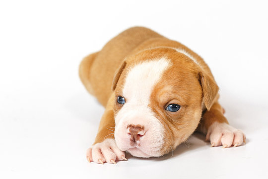 American bulldog puppy on white background