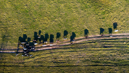 Aerial view of group of cows on rural pasture in evening light with dramatic shadow look like Salvador Dali picture