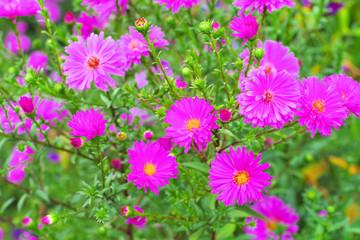 Aster Novi Belgii der Sorte Bewunderung - the flower Aster Novi Belgii