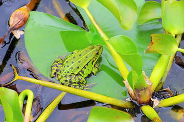 Frosch - a small frog in a pond