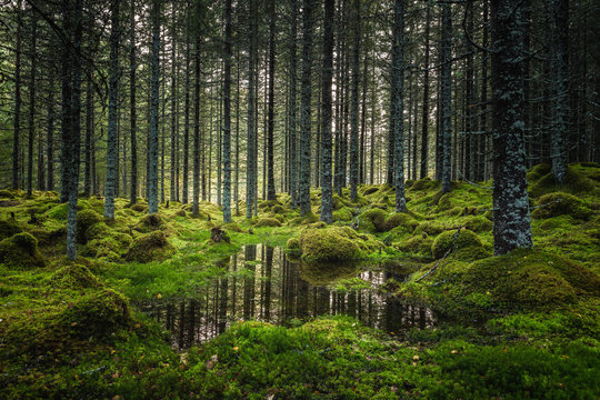 Boreal forest floor. Mossy ground and warm,autumnal light. Norwegian woodlands.