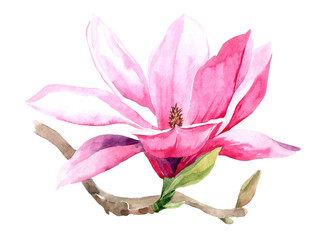 Flowers watercolor illustration of purple Magnolia branch, isolated on white background. Botanical watercolor hand drawn illustration