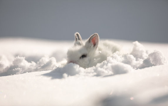 little cute white hare on the snow