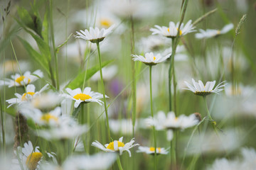 Beautiful white daisies flowers growing outside in wild green grass in countryside meadow. Horizontal color photography.