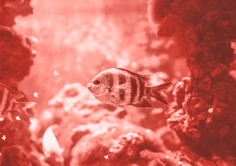 Fish swimming in the ocean, against a background of corals in Colour of the year 2019 Pantone - Living Coral