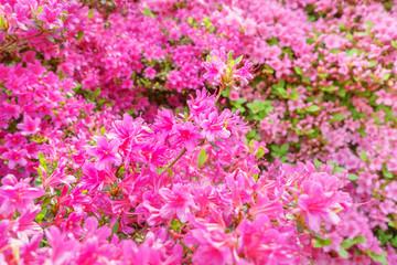 Rhododendron im Garten