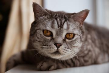 Purebred cat lying on the windowsill