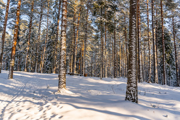 Sunny Winter Day in Pine Tree Forest, Abstract Background