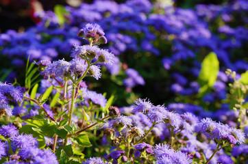 Purple Ageratum flowers in the garden