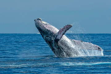 humpback whale breaching in cabo san lucas Wall mural