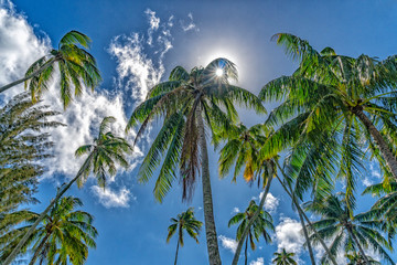 coconut palm tree detail close up on blue sky background