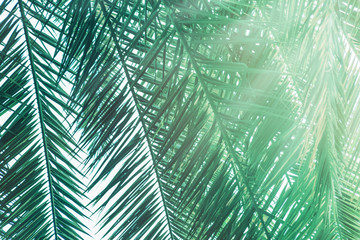 Natural background from palm green leaves close up. Toned picture. Palm leaves with sunbeam.