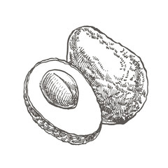 Avocado. Vector hand drawn illustrations. Tropical summer fruit engraved style illustration.