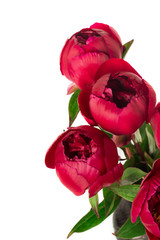 Spring concept. Bouquet of red pions isolated on white
