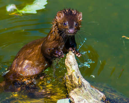 Adorable American Mink