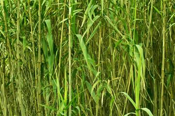 photo of green wall of fresh bamboo close up