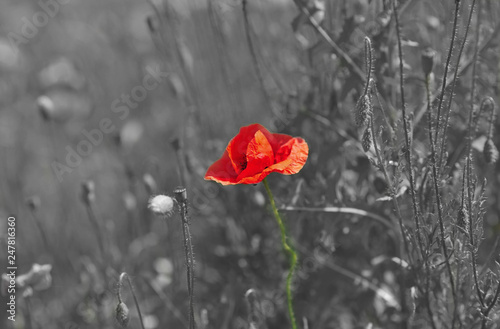 Poppy Flower On A Black And White Meadow Exception Concept