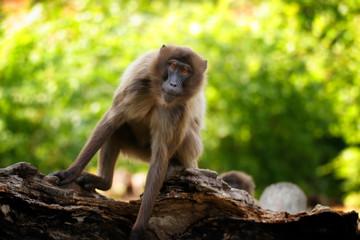 Female Gelada Baboon is moving