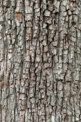 Tree bark texture. natural backgrounds, textures - bark of the European pear tree. A close up view of the bark of a European pear tree.