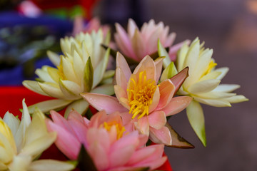 collected lotus flowers for buddha.