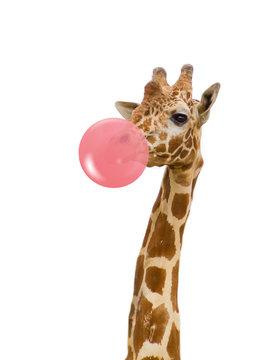 giraffe with bubble gum
