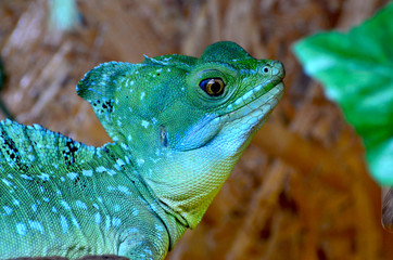 Close-up portrait of blue color male iguana,photo